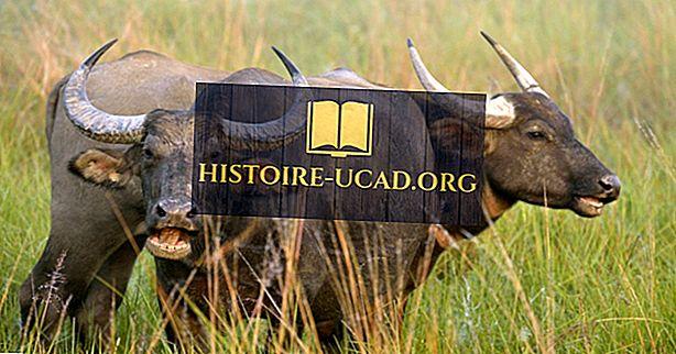Wasserbüffel Fakten: Tiere Asiens