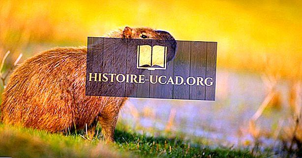 "10 ""Amazing Capybara"" faktai"