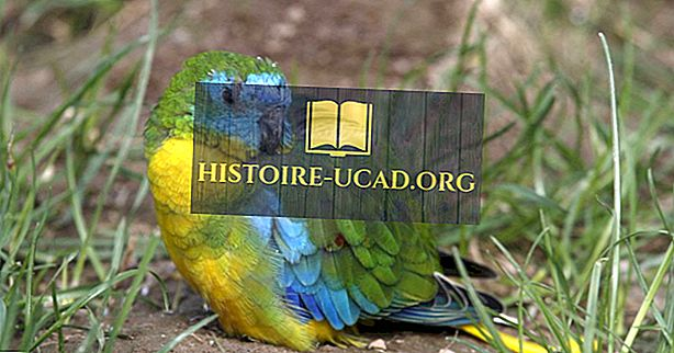 Perroquet Turquoise: Faits: Animaux d'Océanie