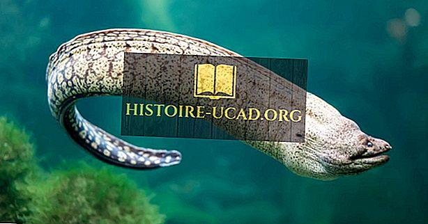 كم عدد أنواع ثعبان البحر؟