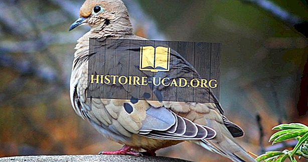 Факты о траурном голубе: животные Северной Америки