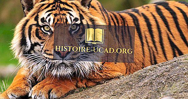 Kodėl Sumatrano tigras išnyksta?