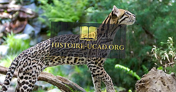 Τα είδη της άγριας γάτας της Κεντρικής Αμερικής