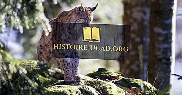 Три диких кошки найдены в Европе
