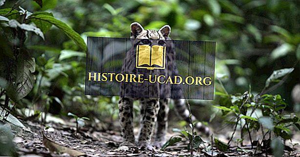 10 врста дивљих мачака Јужне Америке