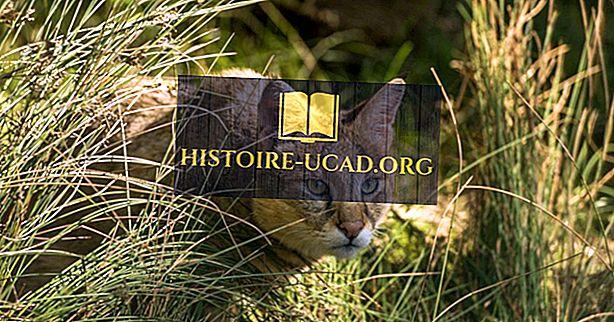 Las diez especies de pequeños gatos salvajes encontrados en Asia