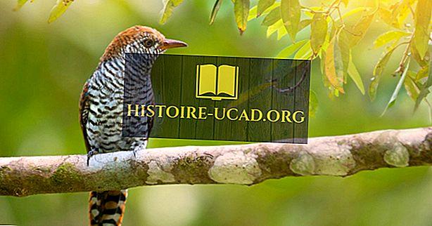 Cuckoo Birds - สัตว์แห่งโลก
