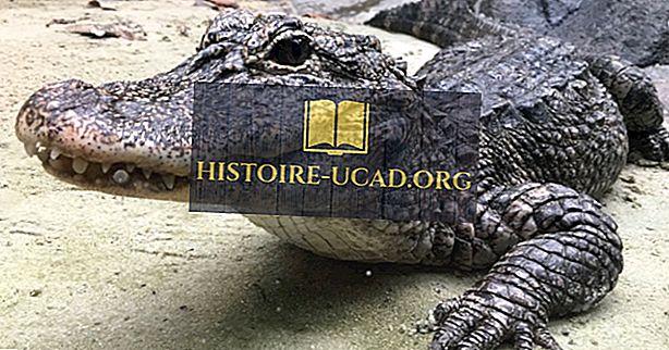 Kineske činjenice aligatora - životinje Azije