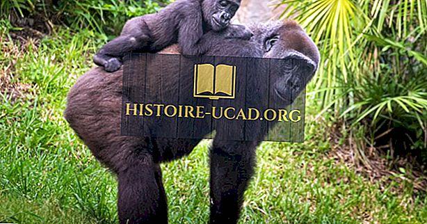 Gorilla Facts - Afrikan eläimet