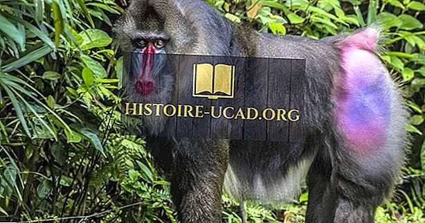 Mandrillin tosiasiat - Afrikan eläimet