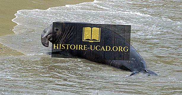 Dramblio antspaudų faktai - vandenynų gyvūnai