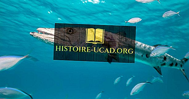 Barracuda Facts - Animaux des océans