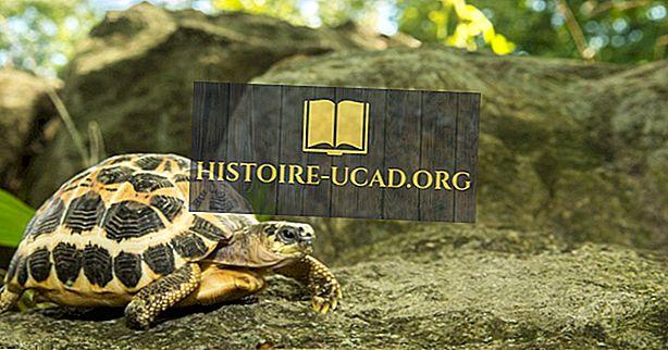Nesli tükenmenin eşiğinde kaplumbağaların dokuz türü