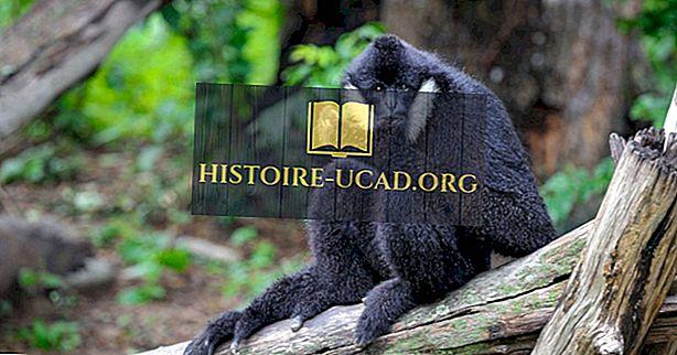 As quatro espécies de Gibbons à beira da extinção