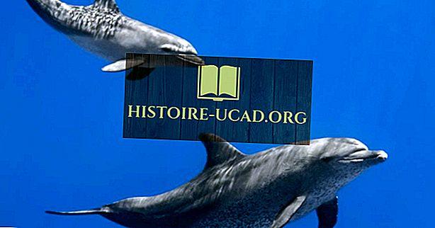 Les dauphins sont-ils des mammifères?
