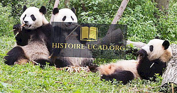 Millised on parimad kohad, kus näha hiiglaslikke pandasid Hiinas?