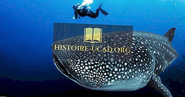 Những nơi tốt nhất trên thế giới để xem cá mập voi trong tự nhiên