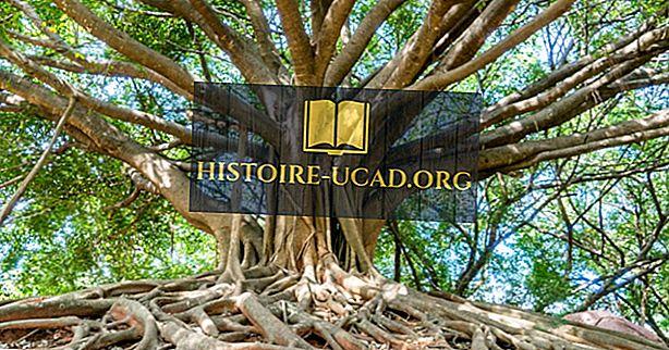 Kde je největší banyanský strom na světě?
