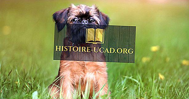'S Werelds kleinste hondenrassen
