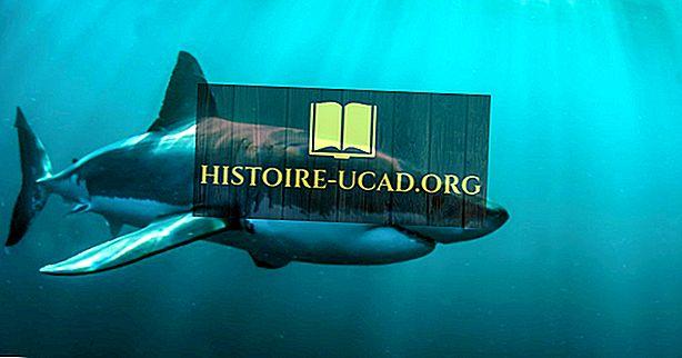 Bagaimana Cepat Adakah Sharks Really Swim?