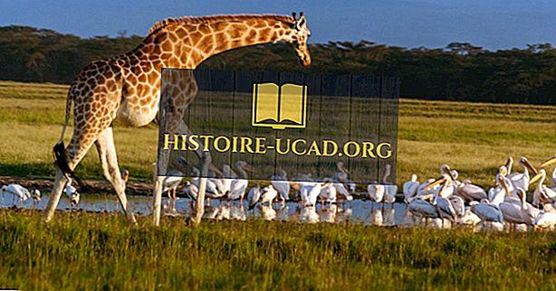 Koliko vrst žirafe obstajajo na svetu?