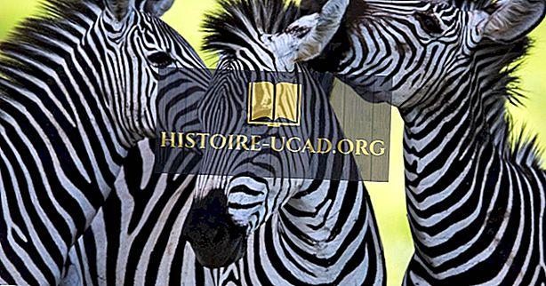 Jsou zebry bílé s černými pruhy nebo vice versa?