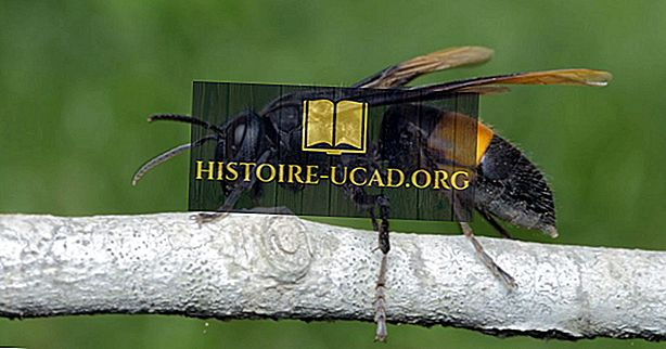Asian Giant Hornet - Največja svetovna vrsta Hornetov