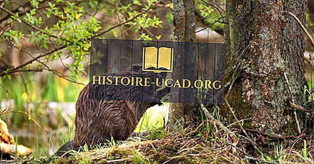 Kde sa Beavers žiť?