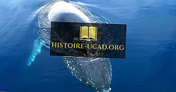 Јесу ли китови сисари?