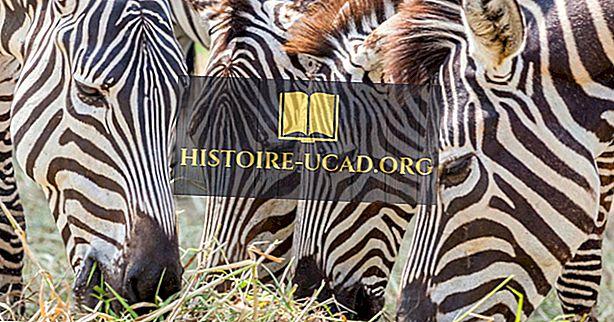 Čo Zebras jesť?