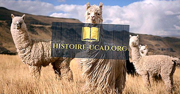 Qual è la differenza tra lama e alpaca?