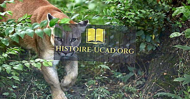 Zijn Cougars en Mountain Lions hetzelfde?