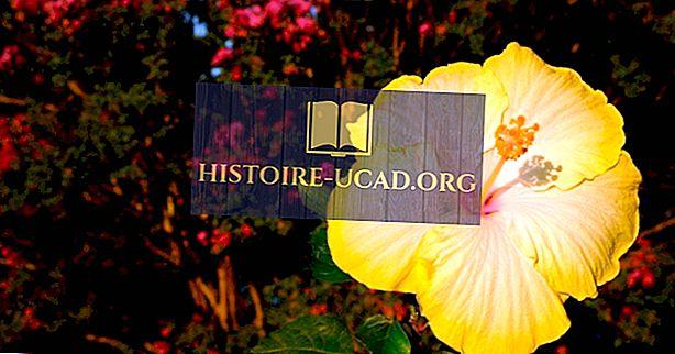 Hva er Hawaii State Flower?