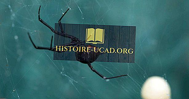 Black Widow 거미는 어디에 살고 있습니까?