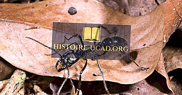 चींटी की दुनिया की सबसे बड़ी प्रजाति क्या है?
