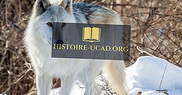 ما هي أكبر أنواع الذئب في العالم؟