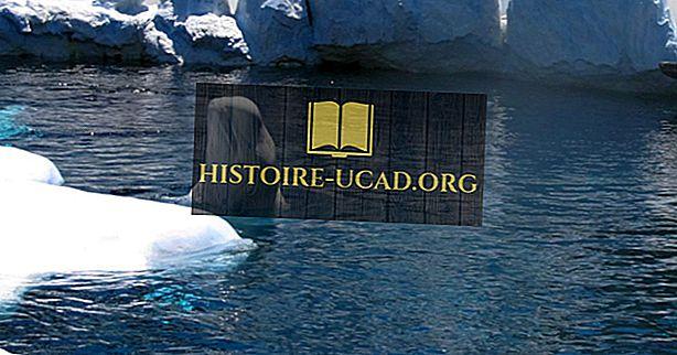 Къде живеят китовете на Белуга?