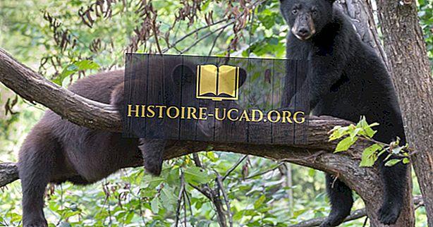 Bolehkah Pohon Menunggang Bears?