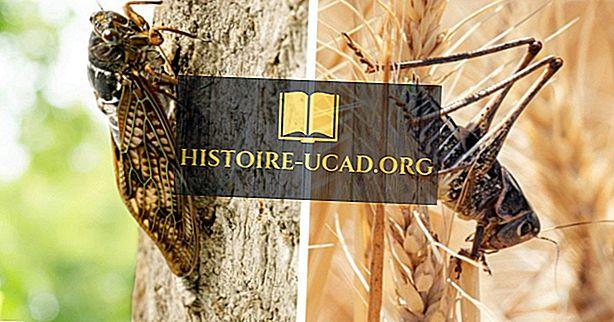 Kas Locustid ja Cicadas on samad putukad?