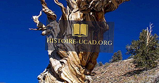 hechos mundiales - Los árboles vivos más viejos en la tierra
