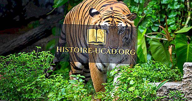 Hvor bor tigrene?