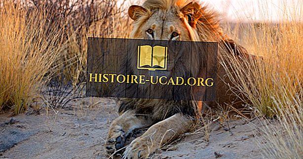 Wo leben Lions?