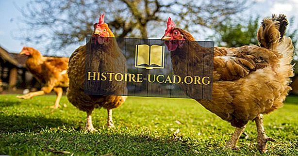 Hvor mange kyllinger er der i verden?