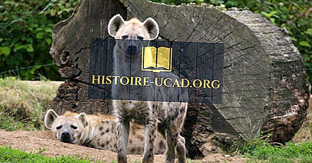 Fatos da hiena - animais do mundo