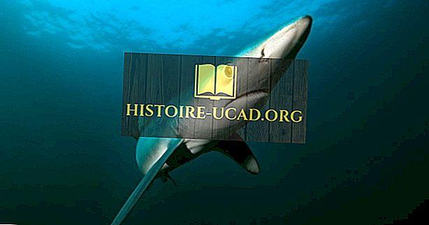 Köpekbalıklarının Kaç Duyusu Var?